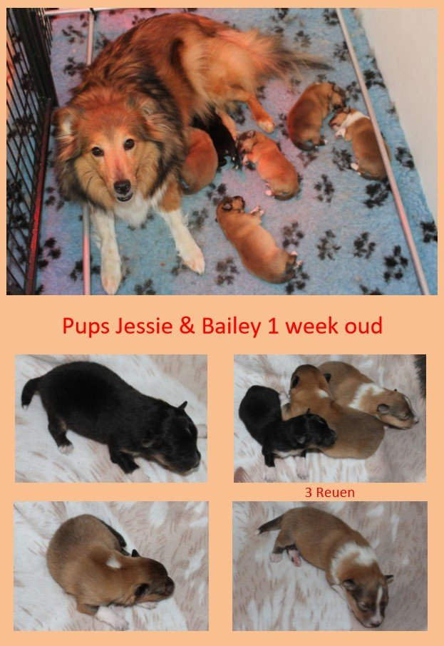 pupsjessie en bailey shelties